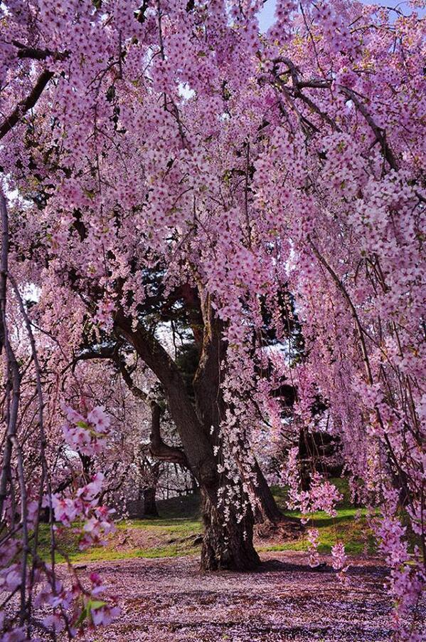 咲いてる時間は儚い。 http://t.co/BYCBN3iFYC