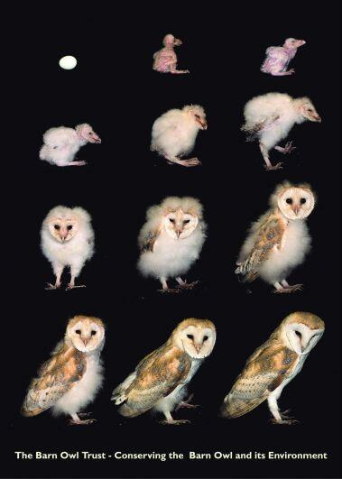 .@TheRaptornary You're welcome - it's a great image, starring Baley the Barn Owl growing up! http://t.co/U4yrJGLJ3R http://t.co/jyqwHHVoBL