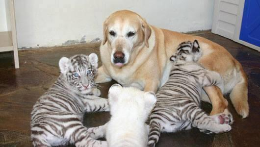 A mother like no other. This labrador never had puppies of her own but she has been a mother to many baby animals. http://t.co/qkXgOLnb1O
