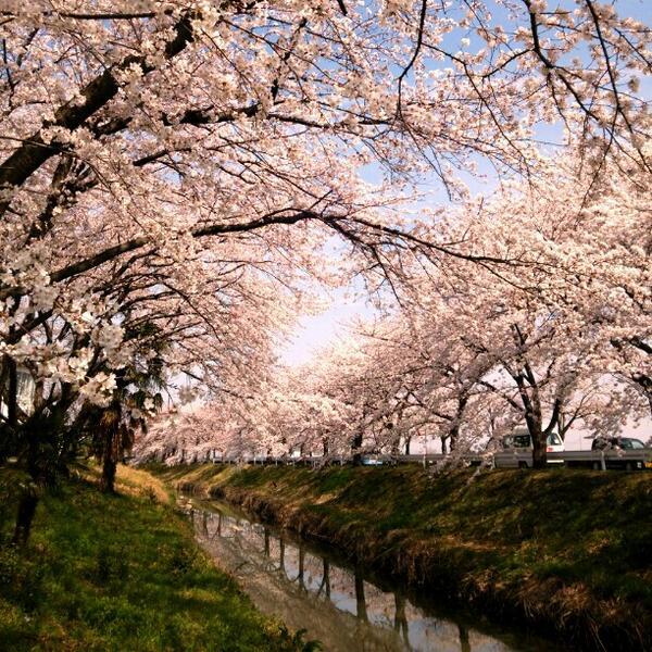 伊佐沼の桜も満開〜桜のトンネル(^▽^)/ (@ 伊佐沼) http://t.co/R5WCCmSQhU http://t.co/WiwBbJiWcX