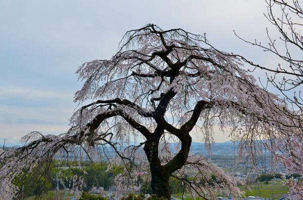 京都・地蔵禅院の枝垂れ桜でございます。2014年4月2日撮影。 http://t.co/iDdtRhCja4