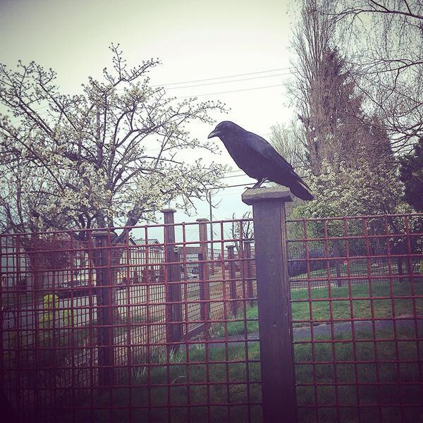 My wild crow friend waits for a treat. #corvid http://t.co/s6u7yDILyx