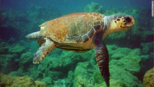 In Turkey, a 90-year-old woman is battling to save the country's endangered loggerhead turtles http://t.co/kISxN5ffpD http://t.co/QJPgBTZilG