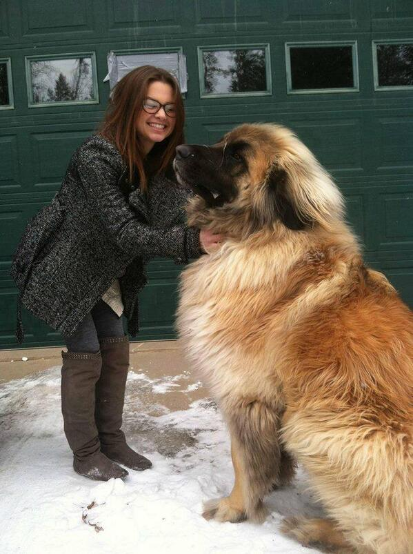A Leonberger: These magnificent dogs can weigh 170 pounds, but are incredibly disciplined, loyal, and gentle. http://t.co/eUF7VfZ13D