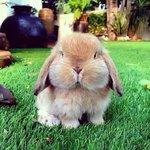 まん丸たれ耳ウサギ https://t.co/ZuSD6PZrc9