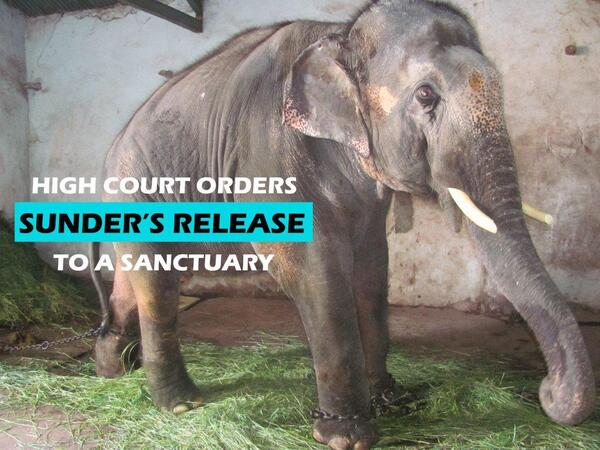 JUST IN: HC of Bombay passes judgment in favour of PETA, orders Sunder's release to sanctuary: http://t.co/Grvglwivma http://t.co/MdKSJSt81T