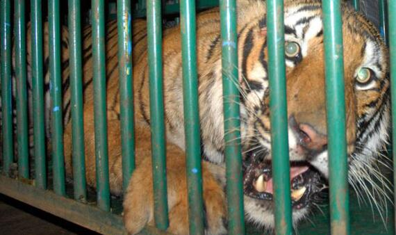 Please sign up to help ban the trade in tiger parts & help save the tiger in the wild at http://t.co/4mCUzRV0Vs   http://t.co/5yUJZrp3pP