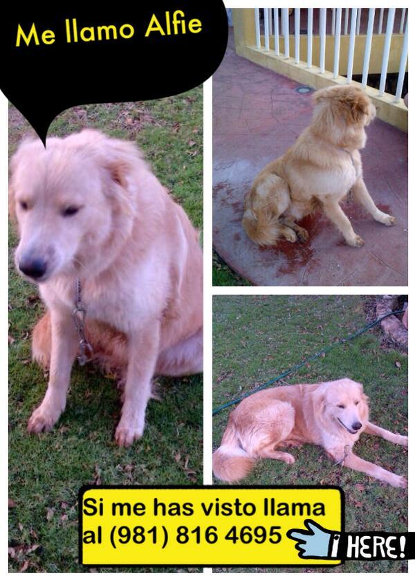 Help! Se perdió Alfie en el barrio Santa Ana, si lo ves, llama al 9818164695 http://t.co/f4gcp4NPBa