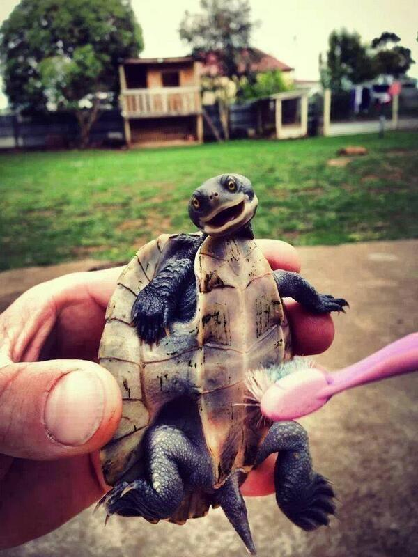 A pic of a guy tickling a baby turtle with a brush: http://t.co/GuOqBFBNnF