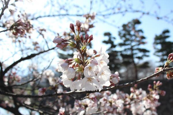 【国宝松本城の桜】開花を本日観測しました。昨年より6日遅い開花になります。 #matsumoto http://t.co/EMkiGsdXx8