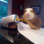 Bae: My pencil snapped can you sharpen it? Me: I cant, I am a Guinea Pig Bae: Im horny Me: http://t.co/qdk1xmc3OJ