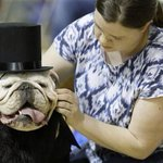 RT @NBCNews: Photos: The 35th Annual Bulldog Beauty Pageant in Des Moines, Iowa http://t.co/wDJFHFGRAm http://t.co/cNODp4yCF2
