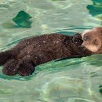 Sleepy little Otter http://t.co/ZQUD10LmJG