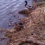 Watching the #ducks at #lakesidepark in @CityKitchener on #EarthDay2014 http://t.co/imCnVfKtPn