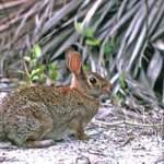 RT @LindseyBrock: Its officially spring time! First marsh rabbit spotted. #ilovejax #springtime http://t.co/jIytRx5uAw