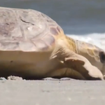 ICYMI: Dozens of rescued sea turtles were released into the Jacksonville surf yesterday. http://t.co/lsbWFjkJ0C http://t.co/Mw5AKW0H2T