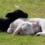"RT @CBRFoodie: ""@FakeToniaTodman: The lamb is resting. #mkr http://t.co/Cq0sbobLYE"""