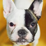 #Breaking: Chloe, a French Bulldog stolen last week, has been located in #Abbotsford. More to come. http://t.co/Y2fmnXnHdW