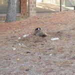 UB students warned about Canada Geese nesting near dorms. More at 5:30 & 6 on @WKBW. http://t.co/0u12H6p9sn