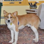 Meet Bohdi! 1-2 years old and great with other dogs and cats too! http://t.co/BhEZtnEGzJ #twithaca http://t.co/5UYmrSYAek