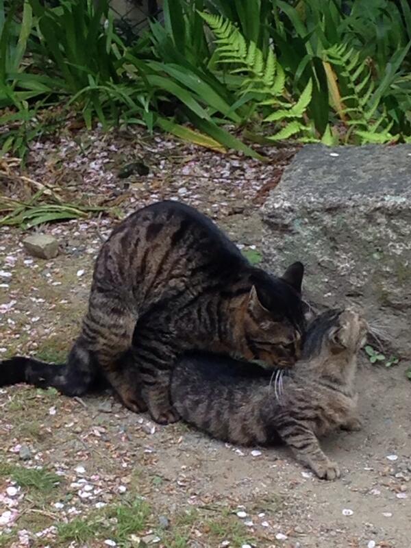 哲学の道歩いてたら野良猫がえっちしてた http://t.co/5z3kn0QPno