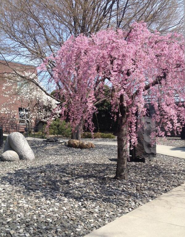 Today's #NoguchiWeatherReport is happy to announce the Weeping Cherry has blossomed! A perfect #SecondSunday to visit http://t.co/XGJCepW7rT