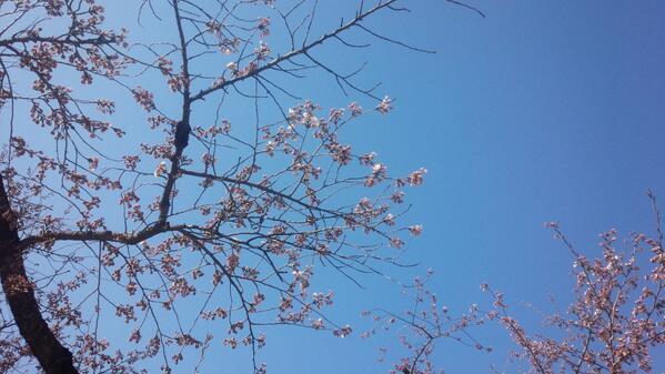 鶴ヶ城の桜は本日開花宣言が出ました!!とてもいい天気でお散歩日和です。 #会津さくら #会津華たび http://t.co/airDwqBOrm
