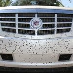 Lovebugs are back, or are they? Insects may not be to blame for recent 6-legged splats on cars http://t.co/M42LXCiSoj http://t.co/L3p3J8Aoxb