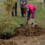 Daughter of WW1 soldier Lynette Walker replaces a tree for her father Stanley in #Ballarats Avenue of Honour http://t.co/zGpnfgyIA9