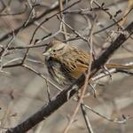 Song Sparrow looks like hes using the morning sun in #LdnOnt to stay warm. #birds http://t.co/bL8mMRyAED
