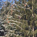 #ldnont can you spot the Wild Turkey in the Spruce tree? Taken today @fanshaweca on road to hydro plant! http://t.co/SeekZyroRq