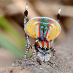 RT @qikipedia: Meet the peacock spider, he's only 5mm long and lives in Australia… http://t.co/wChbCCRLnb