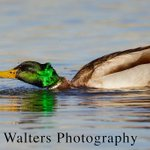 RT @danwal2: Mallard shaking it off #wildlife #birds #ducks #photography #nature #colorado http://t.co/OJFL4KhrvS
