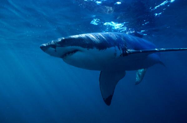 Sharks turn out to be more modern than anyone had ever imagined! Here's how sharks evolved: http://t.co/m9Dpgo3txT http://t.co/Elxkp5Kp3Q