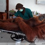 A 14-year-old male orangutan, injured by air gun metal pellets, is examined on northern Sumatra island @SutantaAditya http://t.co/RCgWj2XWw9