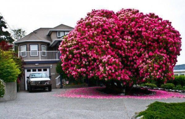 This beautiful Rhododendron Tree is 125 Years Old and is situated in Ladysmith, British Columbia, Canada http://t.co/MgwWCj97NL
