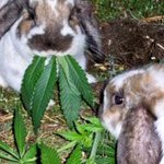 RT @stillblazingtho: Easter Bunny on 4/20 http://t.co/H9Q0m1GFdl