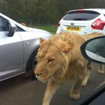 Crazy traffic on the m4, didnt believe some lions escaped from Bristol zoo until one walked past the car! #mental http://t.co/jDdcPZGtVY