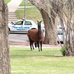This llama was on the loose in Trinidad earlier this week and now 4 people are suspected of killing it. http://t.co/vAOr17XRsQ