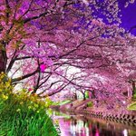 "RT @fenvirantiviral ""Cherry Blossom River, Kyoto, Japan #spring #fenvirnature via #weather http://t.co/oN2Oyr7HBo"" http://t.co/cVIIQw2TOA"