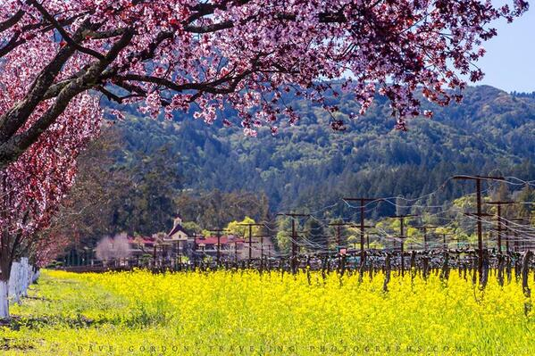 Beautiful! RT @VisitNapaValley: Hello gorgeous! #Mustard is in bloom for a couple more weeks! http://t.co/0Xx8Uzjocq