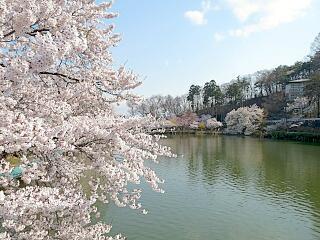 臥竜公園管理事務所です。桜は、はち切れんばかりの満開です。19日20日の土日に合わせたかのような見事な咲きっぷり。さくら名所100選の地臥竜公園のさくらをご堪能ください http://t.co/mV5dFACXiu