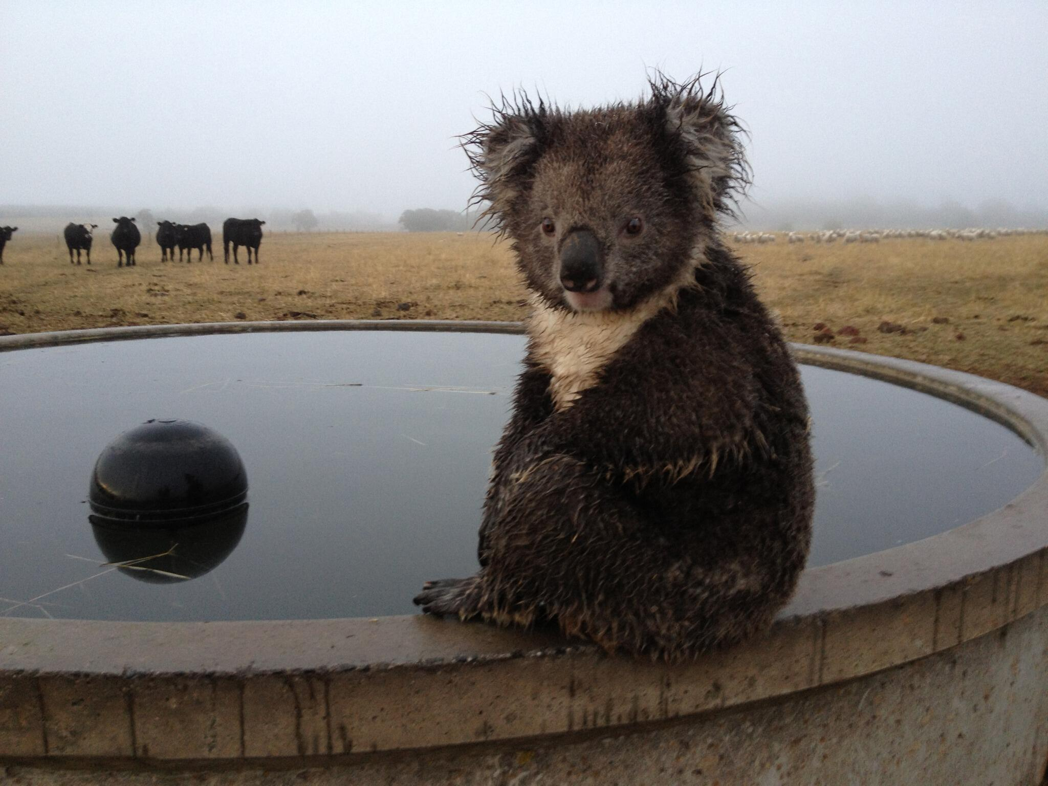 Audience member, and #farmer, Bruce Stephens snapped this #koala taking an early morning dip this week in #Victoria http://t.co/mm7dWNV0g4