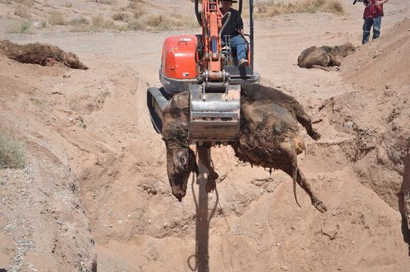 "NOT the actions of a legitimate ""environmental"" agency -- BLM KILLED & BURIED #BundyRanch cows (graphic) http://t.co/daUKTNAiIg #tcot"