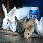 What do bunnies and Bud Light have in common? Hops. http://t.co/g5aH2cyJzj