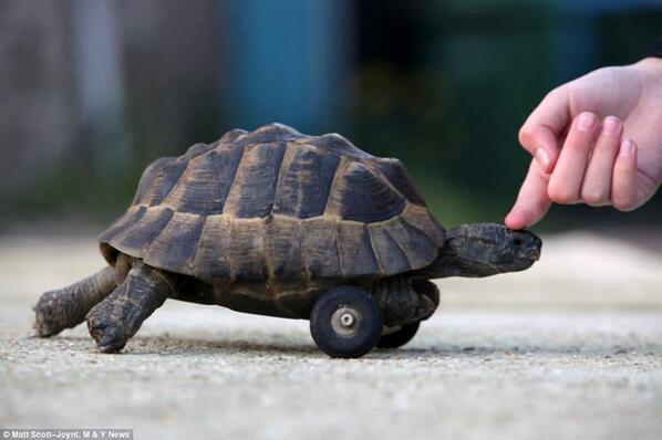 This tortoise was given wheels after his front legs were gnawed off by rats while hibernating underground. http://t.co/H07JeGMVk6