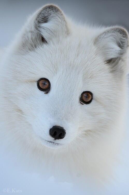 Arctic Fox http://t.co/Vouenqk0dW
