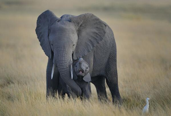 Baby Elephant and Mother, Amboseli National Park, Kenya, East Africa by Diana Robinson http://t.co/iXA2aYsGJ2