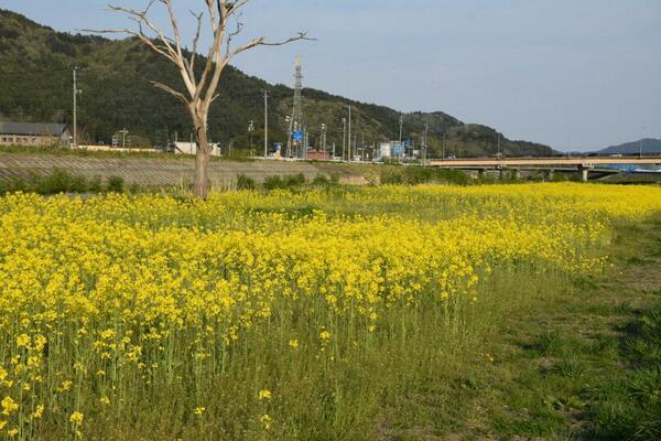 ボランティアの皆さんありがとうございます! 大槌川河川敷の菜の花が見ごろを迎えています http://t.co/HB7dzClhSp