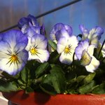 These and some 10 million other Finnish pansies will cheer up the weekend of Finnish people! http://t.co/i0GNWZfURb http://t.co/KvXwRUbPlC
